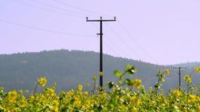 Power poles in a blooming rape field. Power lines on a canola field in a rural area. Power poles in a field