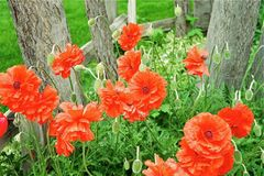 Power to the Poppies stock images