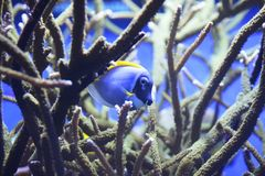 Powerblue Tang. S can be found in tropical waters of the Indian Ocean. It also has sharp teeth for getting into narrow spaces stock photography
