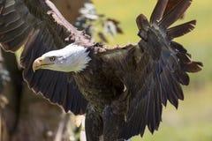 Powerful American bald eagle bird of prey. Strong animal predato Royalty Free Stock Photos
