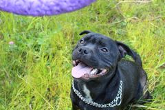 Powerful beautiful black Staffordshire bull Terrier Royalty Free Stock Photography
