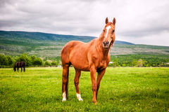 Powerful beautiful horse standing on the field Stock Image
