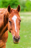 Powerful beautiful horse standing in the field and looking Royalty Free Stock Photo