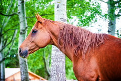 Powerful beautiful horse standing in the forest Royalty Free Stock Photo