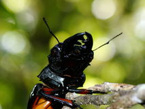 Powerful beetle mandibles Royalty Free Stock Photo