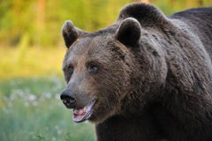 Powerful brown bear Royalty Free Stock Photos