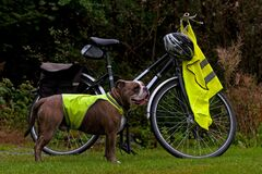 Free Powerful Bulldog Next To A Bicycle Stock Photography - 174230162