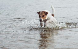 Powerful dog running in water with splashes having fun at beach. Jack Russell Terrier jumping from water stock photo