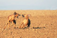 Powerful dogs playing royalty free stock photo