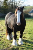 A powerful draft/shire horse. A draft or shire horse in a field with distant trees and building Royalty Free Stock Photo