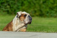 Powerful elderly English Bulldog male lying on the grass with a watchful look peers into the distance royalty free stock photo