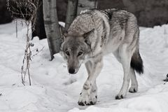 Powerful experienced male wolf with a big powerful head and body, sneaks up and looks. A wolf in the snow stock photography