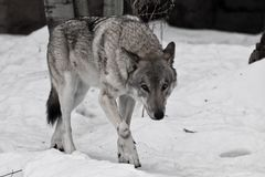 Powerful experienced male wolf with a big powerful head and body, sneaks up and looks. A wolf in the snow royalty free stock photos