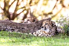 Cheetah resting in grass. A powerful and fast cheetah rests next to a log in a shaded area during a safari Stock Photo