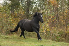 Powerful galloping percheron in autumn Royalty Free Stock Images