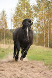 Powerful galloping percheron in autumn Royalty Free Stock Photos