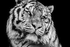 Powerful high contrast black and white tiger face. Bold close-up portrait of a tiger face in high contrast black and white Royalty Free Stock Photos