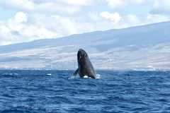 Powerful humpback whale breaching in the watersa of Maui near Lahaina. Powerful humpback whale breaching during a whale watch on Maui royalty free stock images