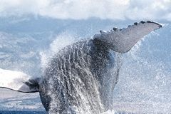 Powerful humpback whale breaching in the watersa of Maui near Lahaina. royalty free stock photo