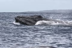 Powerful humpback whale breaching in the watersa of Maui near Lahaina. Powerful humpback whale breaching during a whale watch on Maui royalty free stock photography