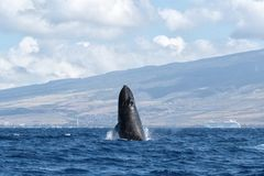 Powerful humpback whale breaching in the watersa of Maui near Lahaina. Powerful humpback whale breaching during a whale watch on Maui stock images