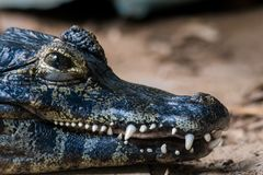 The powerful jaws of a Yacare Caiman showing off his strong teeth, against a background of sand and dust stock images