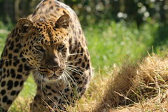 A powerful leopard closing in on its prey. Close up of a powerful leopard closing in on its prey royalty free stock photography