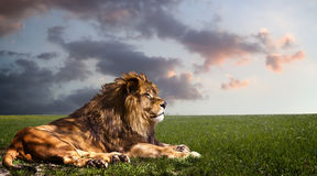 Powerful Lion resting at sunset. Royalty Free Stock Photo