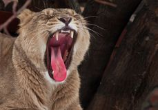 Powerful lioness growls roars, opening up a huge voracious red mouth close-up; language, throat and teeth are visible. Dark royalty free stock image