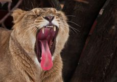 Powerful lioness growls roars, opening up a huge voracious red mouth close-up; language, throat and teeth are visible. Dark royalty free stock photos