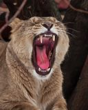 Powerful lioness growls roars, opening up a huge voracious red mouth close-up; language, throat and teeth are visible. Dark royalty free stock photography