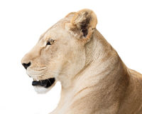 Powerful lioness Royalty Free Stock Image
