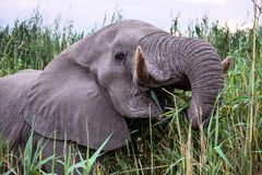 Powerful male African elephant,Namibia Royalty Free Stock Photo