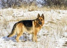 Powerful male german shepherd dog stock photography