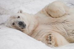 A powerful male imposingly lying and looking with his paws folded. Powerful polar bear lies in the snow, close-up royalty free stock photo
