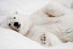 A powerful male imposingly lying and looking with his paws folded. Powerful polar bear lies in the snow, close-up stock image