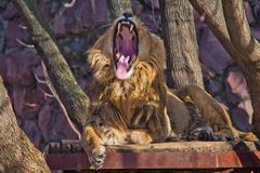 A powerful male lion with a lush mane growls wide opening a huge predatory red mouth. Red big cat stock photo