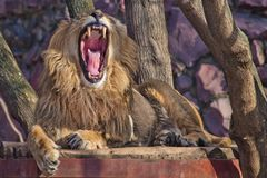 A powerful male lion with a lush mane growls wide opening a huge predatory red mouth. Red big cat royalty free stock images