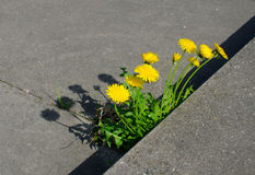 Powerful nature dandelions Stock Photo