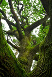 Powerful oak. Royalty Free Stock Photo