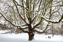 Powerful old tree in the snow. Stock Images