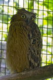 Powerful Owl Stock Photography