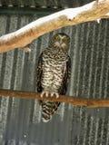 Powerful Owl Royalty Free Stock Image