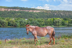Powerful red horse. Beautiful powerful red horse standing on the river shore Royalty Free Stock Photography