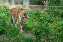 Mighty tiger in a zoo. Powerful but sad mighty striped tiger walking in captivity in the zoo stock images