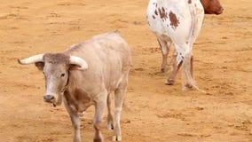 Powerful spanish bull, bullfight arena stock video