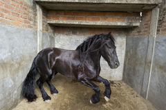 Powerful Stallion horse Stock Photos
