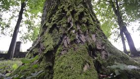 Powerful tree bottom. With thick green moss in summer forest, sliding camera motion stock video