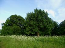 Powerful tree crowns in a Sunny meadow on a summer day royalty free stock photos