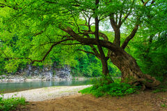 Powerful tree near the rocky river. Old tree with a large crown and powerful roots near the river pebble beach with a rocky shore on the other side of the river Stock Images